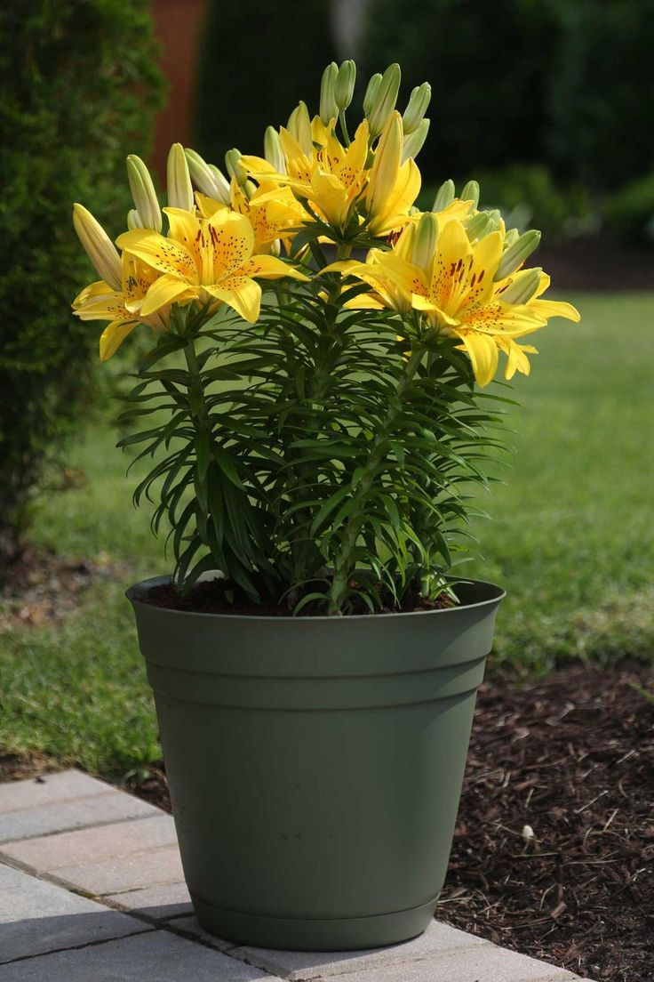 Best Summer Bulbs for Containers: Lilies bloom in a rainbow of beautiful colors and many types are wonderfully fragrant. Asiatic and Oriental lilies are the best for containers. The bulbs can be paired with other plants, but they prefer being planted in pots on their own. Keep the pots in an out of the way location and then move them into a prominent spot as they come into bloom.