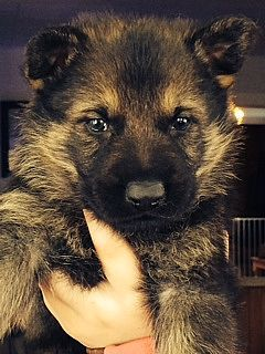 german shepherd breeders vermont 65 best pets images on pinterest doggies dogs and pet dogs 1275
