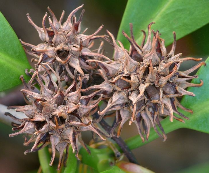 American Sweetgum Casey Trees Restore Enhance And Protect The Tree Canopy Of The Nation S Capital Seed Pods Sweet Gum Ornamental Trees