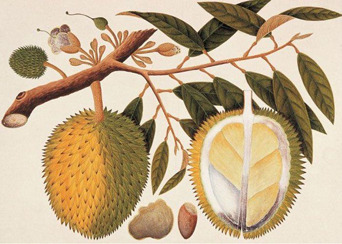 Kisah masa lalu durian mulai dari zaman Jawa kuno. Buah asli Nusantara yang dinobatkan sebagai rajanya buah-buahan. Sejak kapan manusia mulai menyantap buah durian (durio zibethinus) atau siapa yang pertama kali menemukan buah durian tak pernah ada fakta sejarah yang pasti mengenai itu. Namun bila p…
