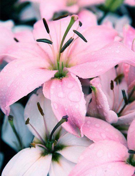 Картинки на телефон цветы лилии
