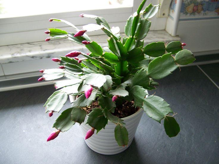 Zygocactus truncatus cactus de navidad cactus mis - Cuidados planta navidad ...