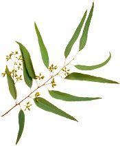 Huile essentielle Eucalyptus citronné BIO Aroma-Zone