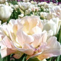 Festival de la tulipe Gatineau (Ottawa).