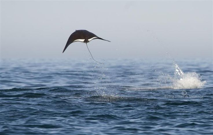 Manta Ray Fact: Manta rays are sometimes seen leaping out of the water like flying pizzas. The reasons for this behaviour is still a mystery to scientists, but some theories have attributed the behaviour to mating rituals, communication and removal of parasites.