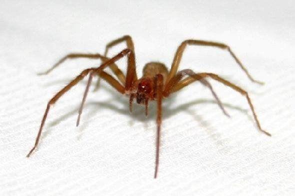 Aranhas-marrons