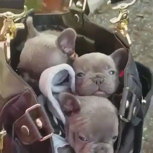 French Bulldog Puppies See Instagram Photos And Videos From