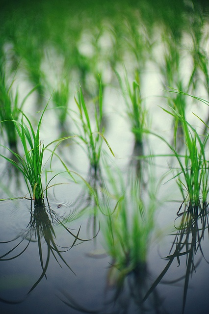 Japanese rice paddy