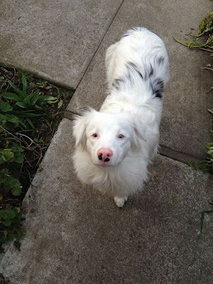 This puppy is an Australian shepherd and is, in fact, a double merle. The dog is also deaf and, judging by the look of the eyes, has reduced vision as well.
