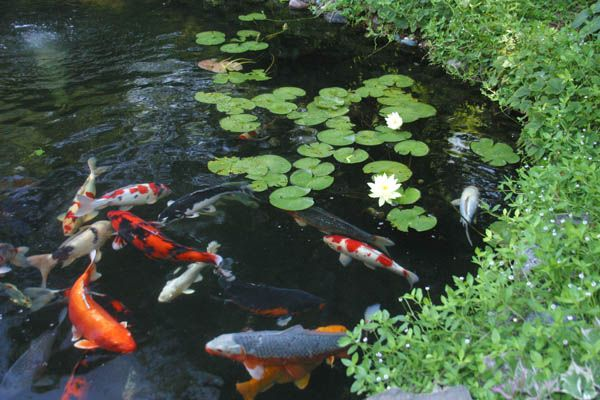 The secret to a low maintenance healthy pond ponds water for Outdoor fish pond care