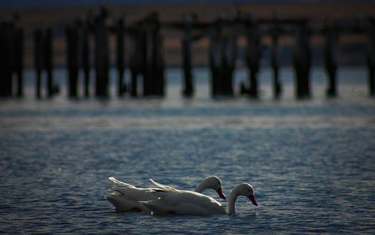 Cisnes Natalinos, Puerto Natales. Chile