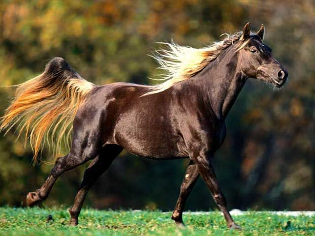 American Quarter Horse horse breed