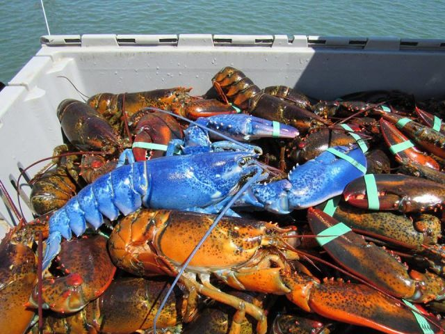 """Massachusetts Lobsterman Captures Rare Sapphire Blue Lobster. """"It was more brilliantly blue than the bluest hydrangea you've ever seen,"""" Jan told The Boston Globe. """"It was almost fluorescent. It was almost glowing."""" While blue lobsters are rare in general, this one is especially incredible because it weighs two pounds. It's amazing, given its size and color, that it wasn't eaten by a larger animal. odds of catching a blue lobster are about one in two million, which makes Plymouth lobsterman…"""