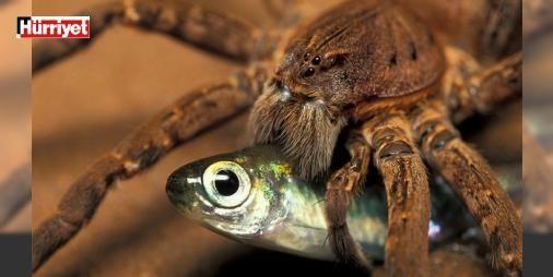 Avustralyada yeni bir tür: Balık yiyen örümcek : Avustralyalı bilim adamları örümcek türlerini araştırırken birçok bilinmeyen türe rastladı. Bunların en dikkat çekeni ise balık yiyen örümcek. İşte yeni bir tür olan balık yiyen örümcek hakkında araştırmalar sonucu bulunan bilgiler...  http://www.haberdex.com/magazin/Avustralya-da-yeni-bir-tur-Balik-yiyen-orumcek/126578?kaynak=feed #Magazin   #örümcek #yiyen #balık #tür #Bunların