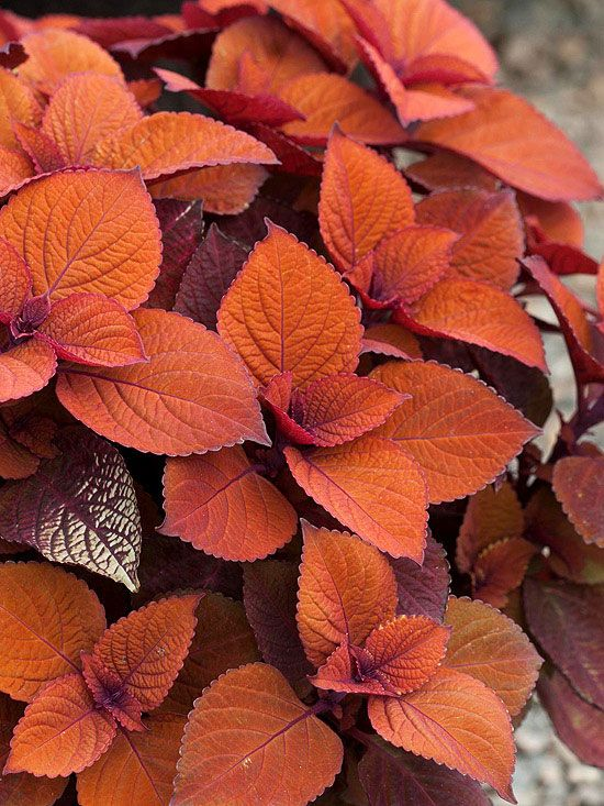 Colorblaze Keystone Kopper Coleus. Talk about a hardworking plant! Colorblaze Keystone Kopper coleus thrives in sun or shade, is a snap to grow, and produces quantities of beautiful copper-color foliage. It makes a bold statement planted by itself in a container or garden bed or mixed with other annuals. And it can even be brought indoors in the fall as a spirit-lifting houseplant.