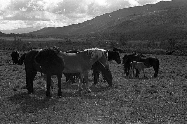 Mares and foals waiting for the stallion, Norway Sikkilsdalen 1968 by estenvik, via Flickr