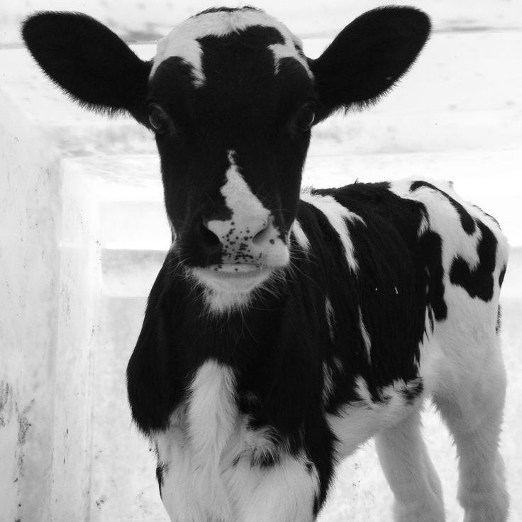 Cute Holstein Calf Hol...