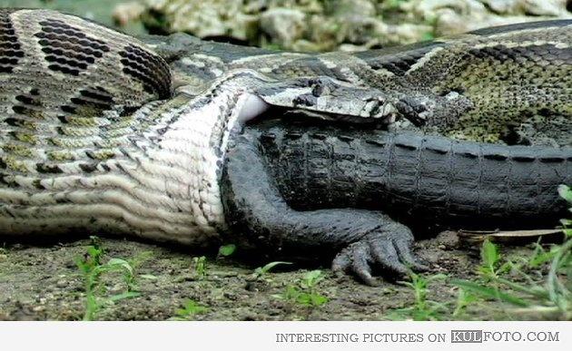 Snake eating alligator Animals Pinterest Alligators
