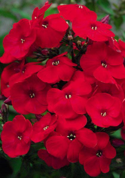 Sie lieben Schmetterlinge und rote Blüten? Dann ist die Gattung der Phlox-Arten, oder auch Flammenblumen, perfekt für Sie, denn durch ihren Duft ziehen sie Schmetterlinge an.