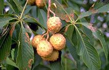 Information and Education - Buckeye Trees - planting Buckeye seeds