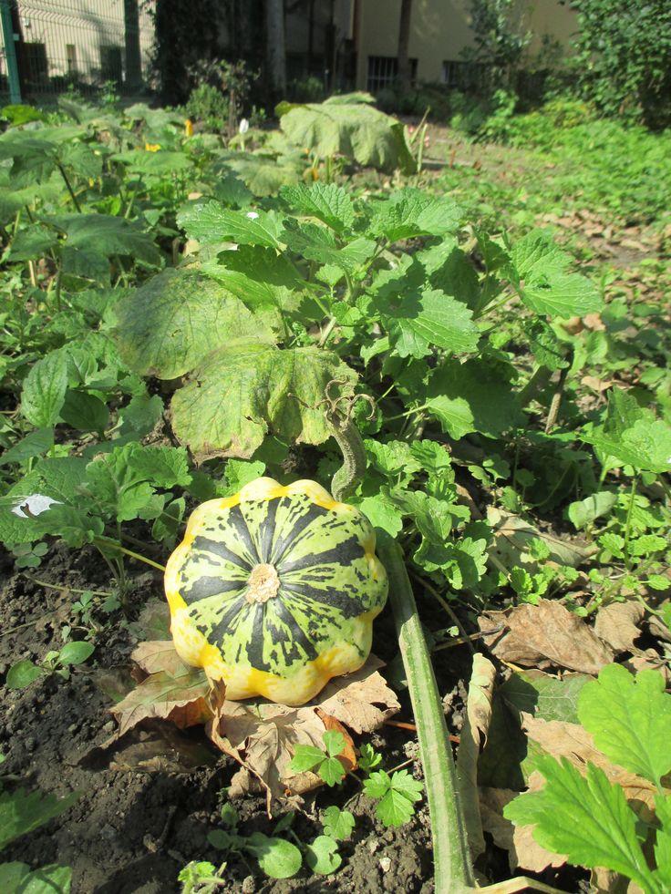 zucche ornamentali http://www.ecoblog.it/post/37963/conservare-le-zucche-di-halloween-ornamentali