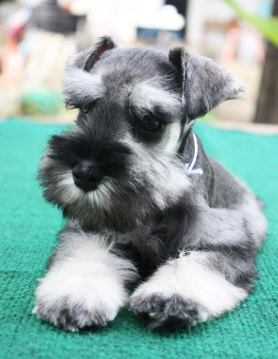 Salt and Pepper Miniature Schnauzer | Salt and Pepper Miniature Schnauzer Puppies