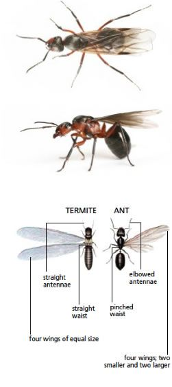 One of the most visible signs of a termite infestation is the presence of flying termites, sometimes called swarmers. These dark – bodied, winged termites emerge in large numbers in the spring, in search of mates to begin a new colony. Most termites in a colony are worker termites.