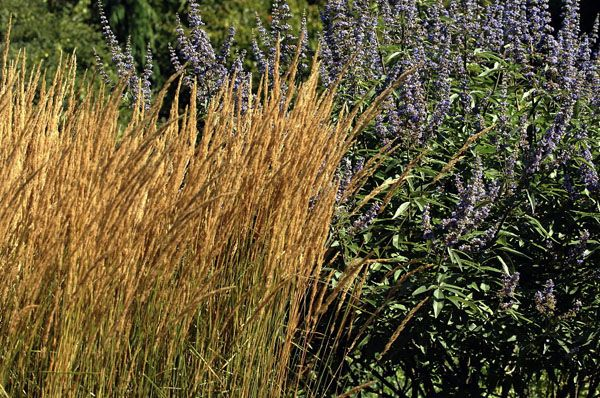 17 best images about garden grasses on pinterest gardens for Blue ornamental grass varieties