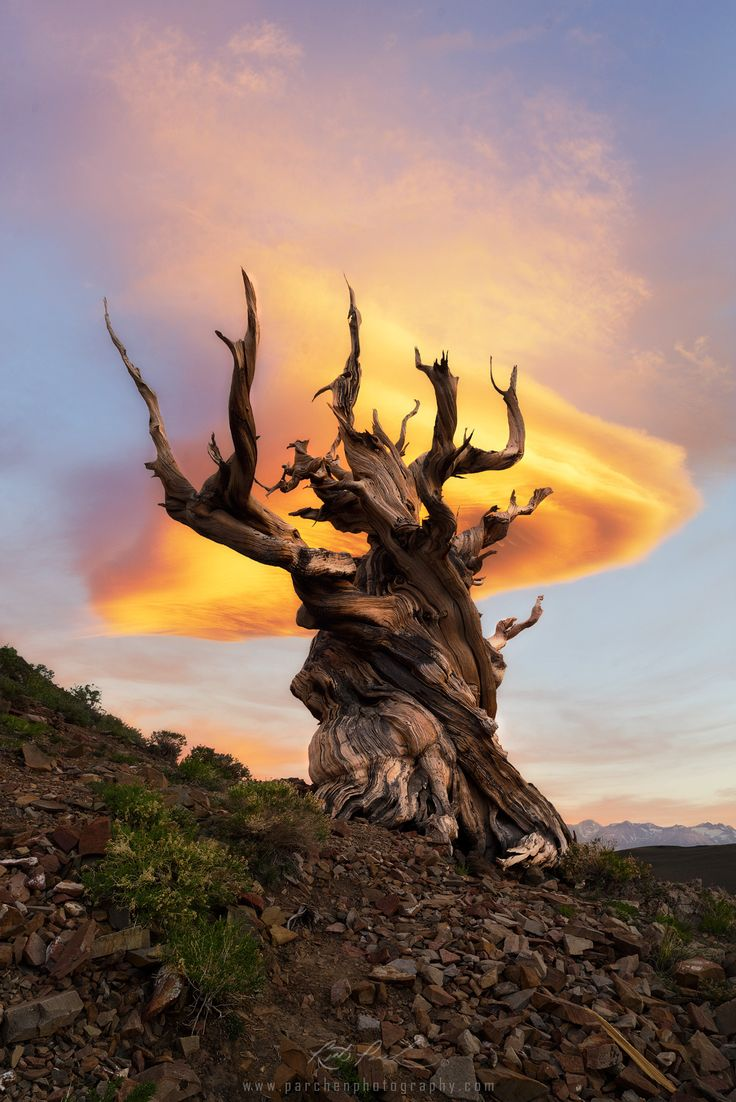 "Tree of Life - <a href=""http://www.facebook.com/parchenphotography/"">Facebook page for updates</a> <a href=""http://www.parchenphotography.com/"">Website for full portfolio</a> Instagram: @ParchenPhotography  One awesome eveningin the Ancient Bristlecone Pine Forest with a lenticular cloud forming over the ancient tree."