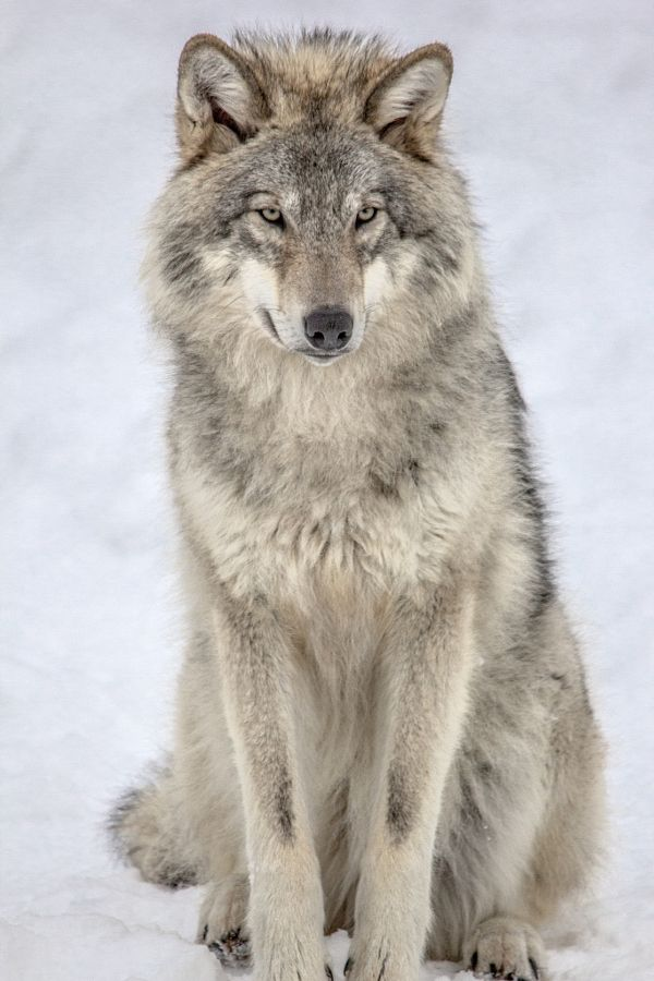 Dog fact of the week: Every dog is related to the grey wolf. That's everything from the toy poodle to the bull mastiff.