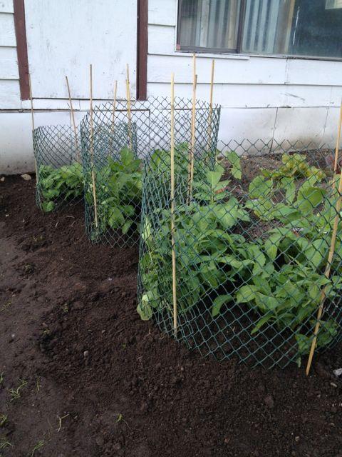 Easiest Way To Grow Potatoes Gardening And Outdoor 640 x 480