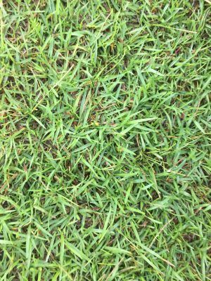 Centipede Sod For Full Sun Light Green Color Warm Season Turf Gr Slow Growing Durable Creeping Low Fertility Requirements Well Adapted To