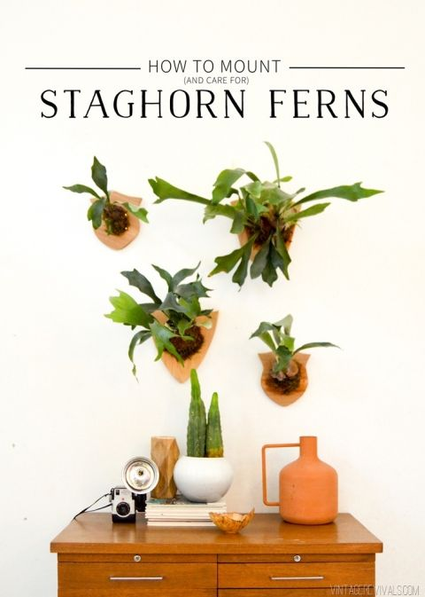 How to Mount and Care for Staghorn Ferns (complete tutorial with pictures!)