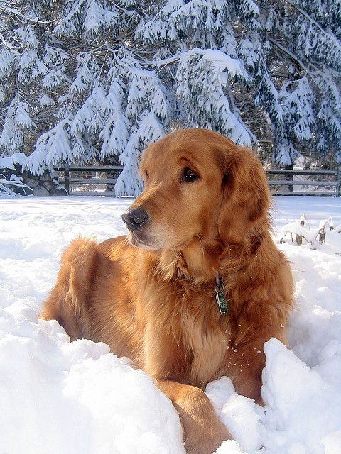 #Golden Retriever reclining in snow