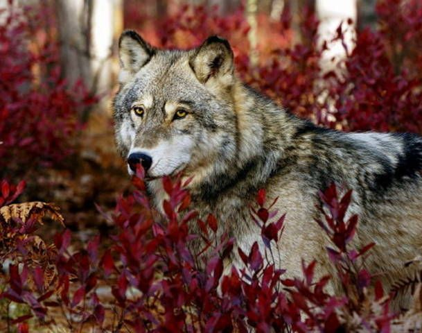 Gray Wolf--Wolfwatcher Photo