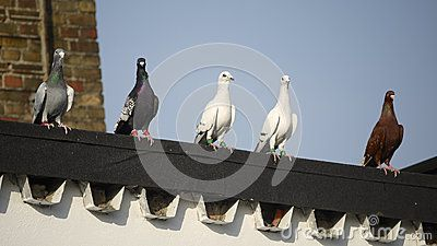 Row of five racing pigeons tagged with bracelets on a rooftop.