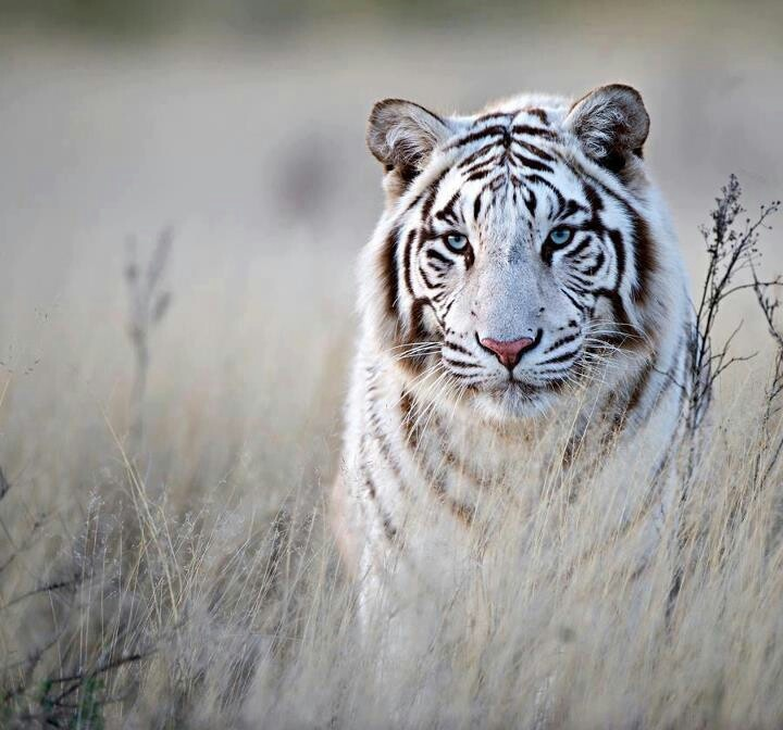 Albino tiger | Albino animals | Pinterest