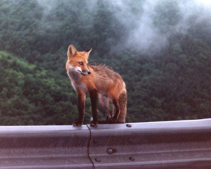 Meat Cove Fox