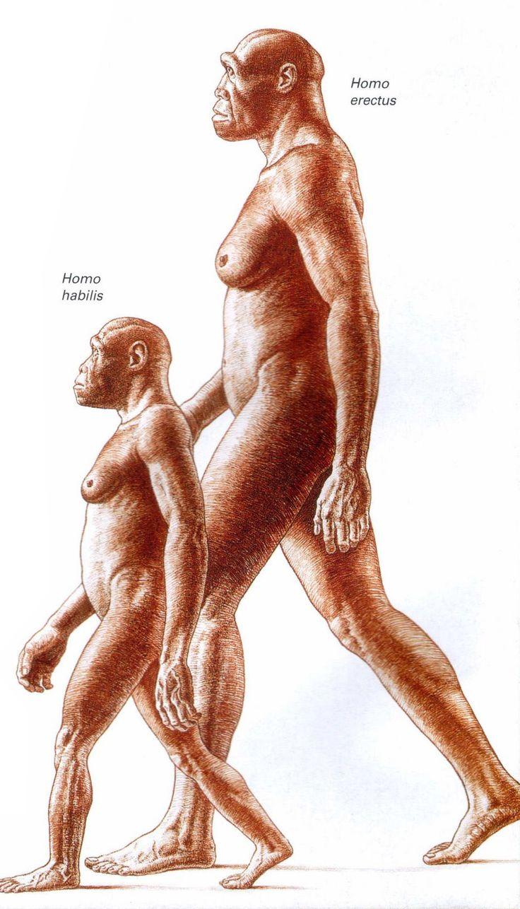 Comparison between Homo habilis and Homo erectus - by John Gurche