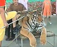 Please Sign and share!!! A video has surfaced which shows a docile, chained, and possibly drugged, endangered tiger being bashed... (59596 signatures on petition)