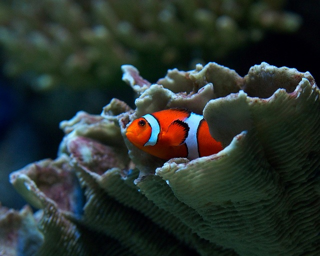 Clown fish photos tennessee and aquarium for Buy clown fish