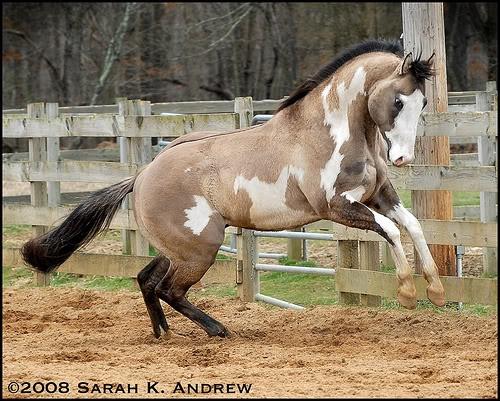 buckskin paint stallion: Beautiful Horses, Animals, Buckskin Paint, Equine, Paint Stallion, Paint Horses, Dream Horse