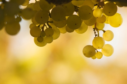 Riesling...an aromatic grape, full of flavour, sugar and acid.