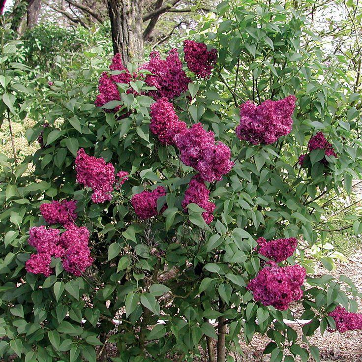 Syringa vulgaris Burgundy Queen™