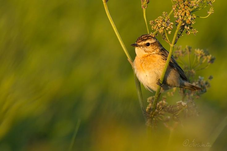 Whinchat by SivWester
