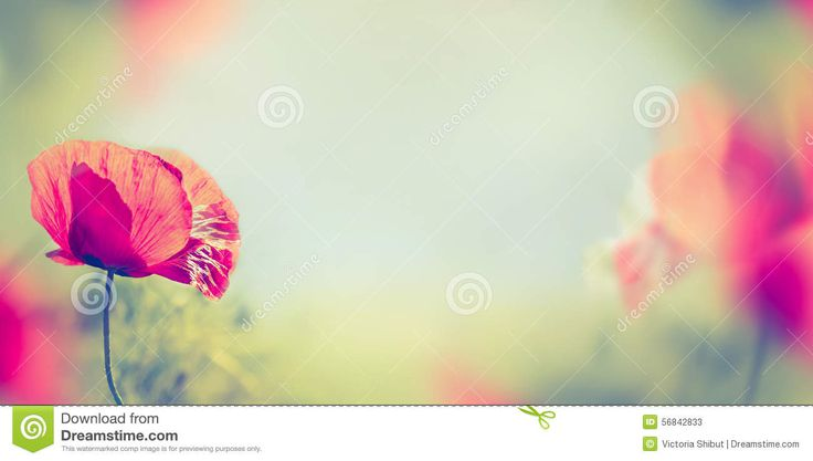 Poppy Flowers On Blurred Nature Background, Banner Stock