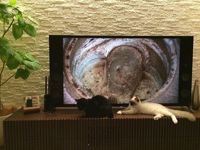 ウルがリンより大きくなってきました😵  足の大きさや胴回りなんてリンより巨大です。。 この間ペットショップに行ったらウルの妹や弟がいました😽  ウルもこんなにちっこかったんだ、、うそやろ🤥ってびっくりしました。  ウルは最近ケージを卒業しつつあります。  てかテレビの画面が気になりすぎますね。(^^;; #ネコ#猫#ねこ#ラグドール#シールポイント#シールポイントミテッド#仔猫#子猫多頭飼育#ぺこねこ部#にゃんすたぐらむ#ねこのきもち#猫のいる生活#猫のいる暮らし#愛猫#cat#cats#可愛い#ネコ#猫#ねこ#黒猫#クロネコ#老猫#多頭飼育#ぺこねこ部#にゃんすたぐらむ#ねこのきもち#猫のいる生活#猫のいる暮らし#愛猫#cat#cats#可愛い
