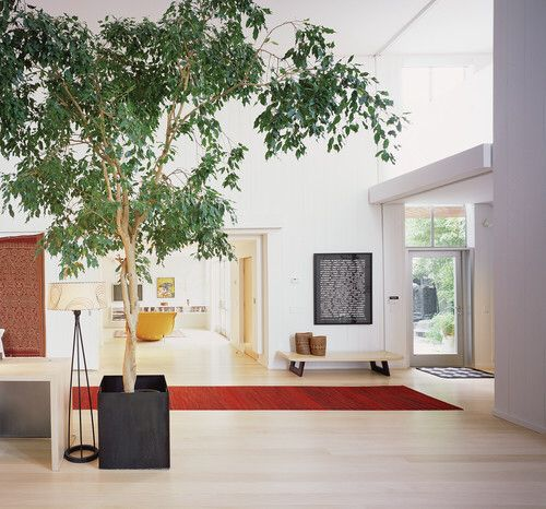 The weeping fig (Ficus benjamina) pictured here is a common indoor plant -  and