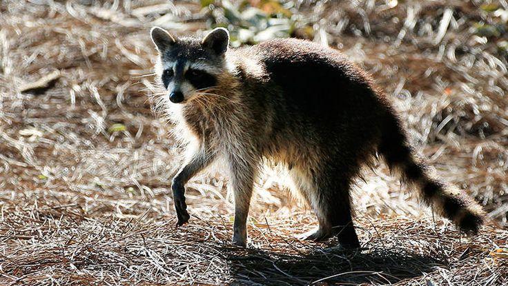 Maine Woman Drowns Rabid Raccoon With Bare Hands #Weird #WeirdNews