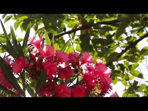 ▶ La adelfa, planta del mes de Julio en la Alhambra - YouTube